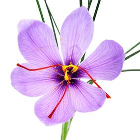 Fleur de Crocus avec les stigmates rouges